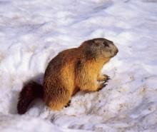 Le jour de la marmotte