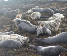 Les Inuits font appel contre l'embargo européen sur le phoque