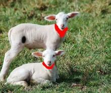 Le silence des agneaux aux cols rouges