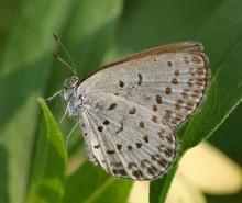 Accident nucléaire de Fukushima: des papillons mutants?