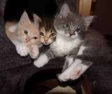 Une portée de chatons issus de pères différents, est-ce possible?
