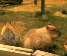 Capybara  – Vidéo