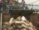 Chine: des porcs morts repêchés du fleuve Huangpu à Shanghai  (Vidéo)